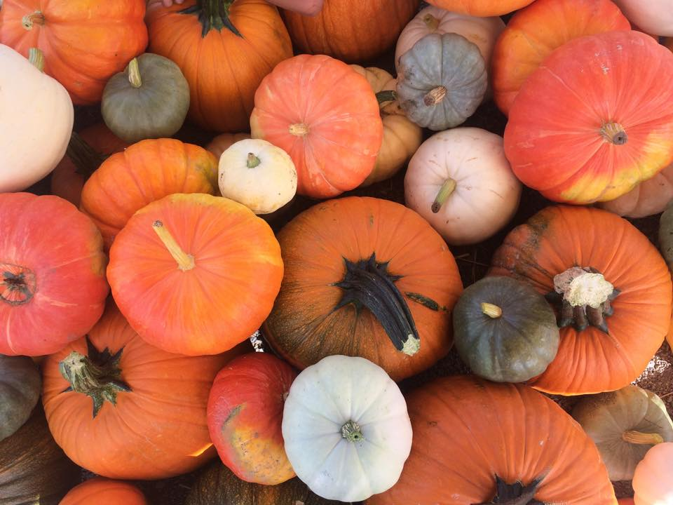 pumpkins at Andelin Family Farm